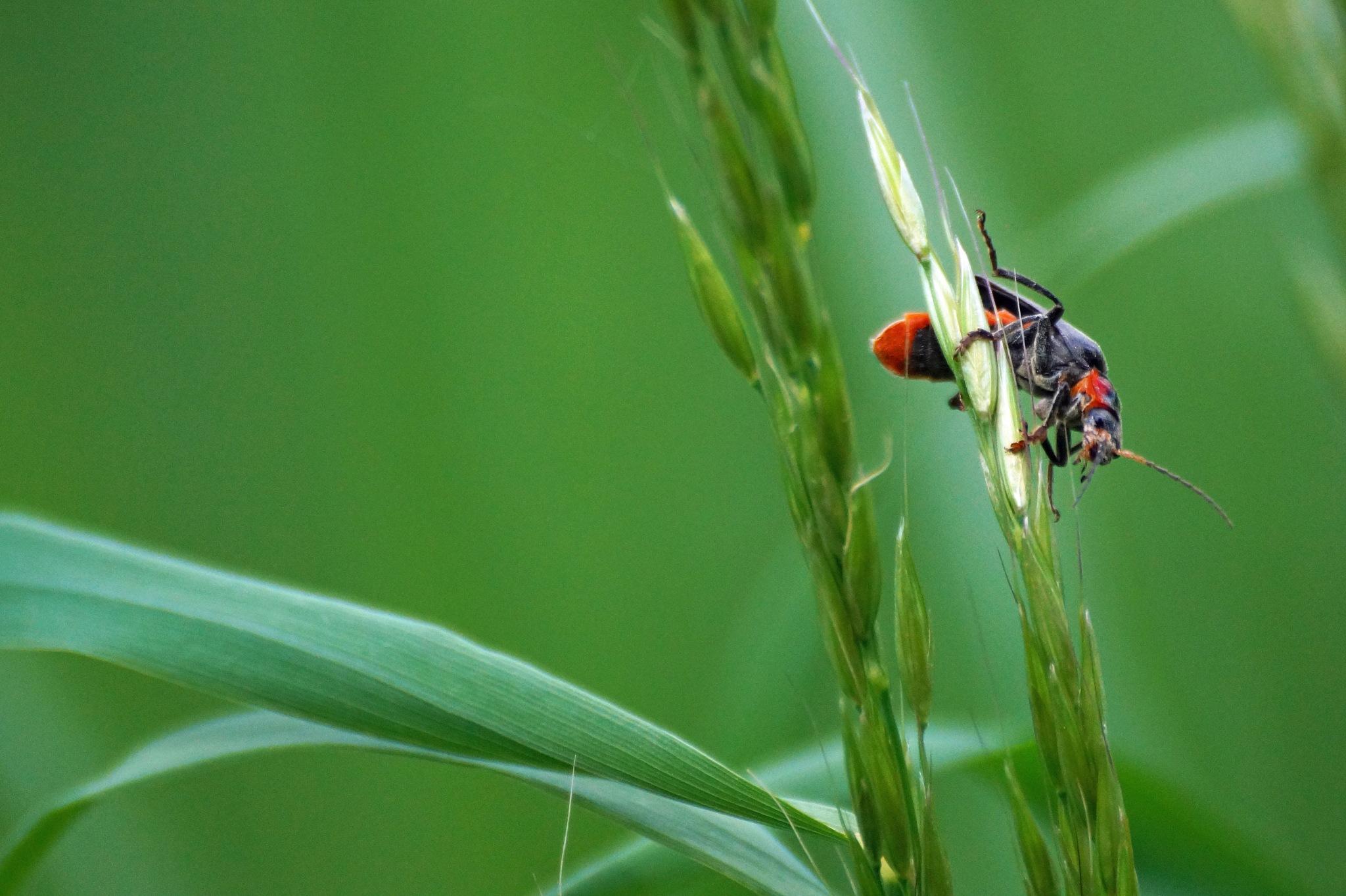 Cardinal Beetle by Marian Baay