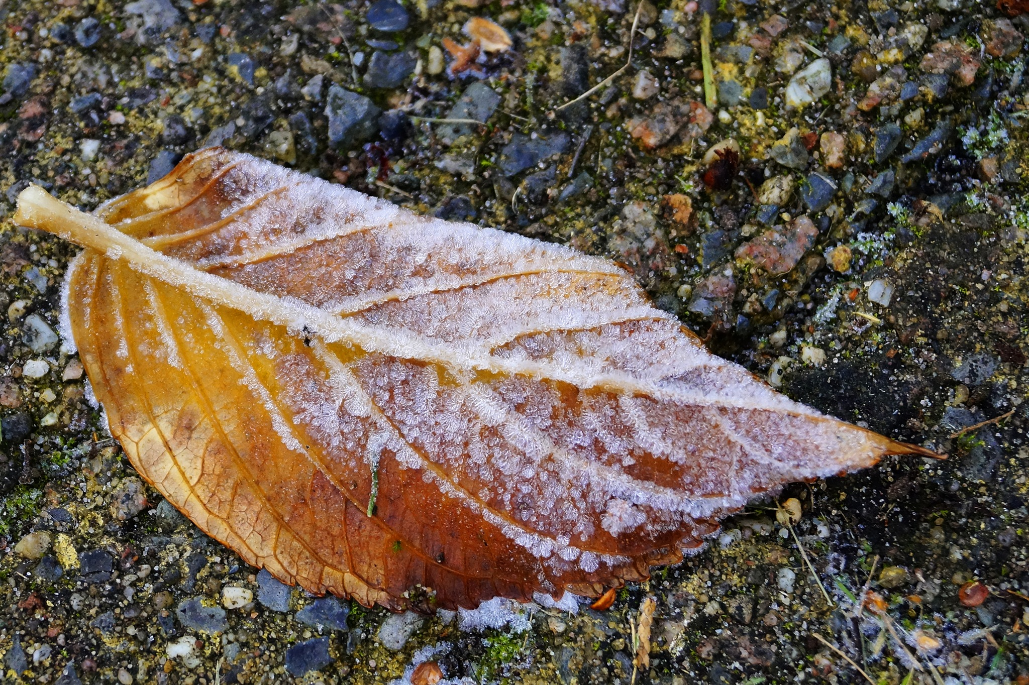 Frosted Leave by Marian Baay