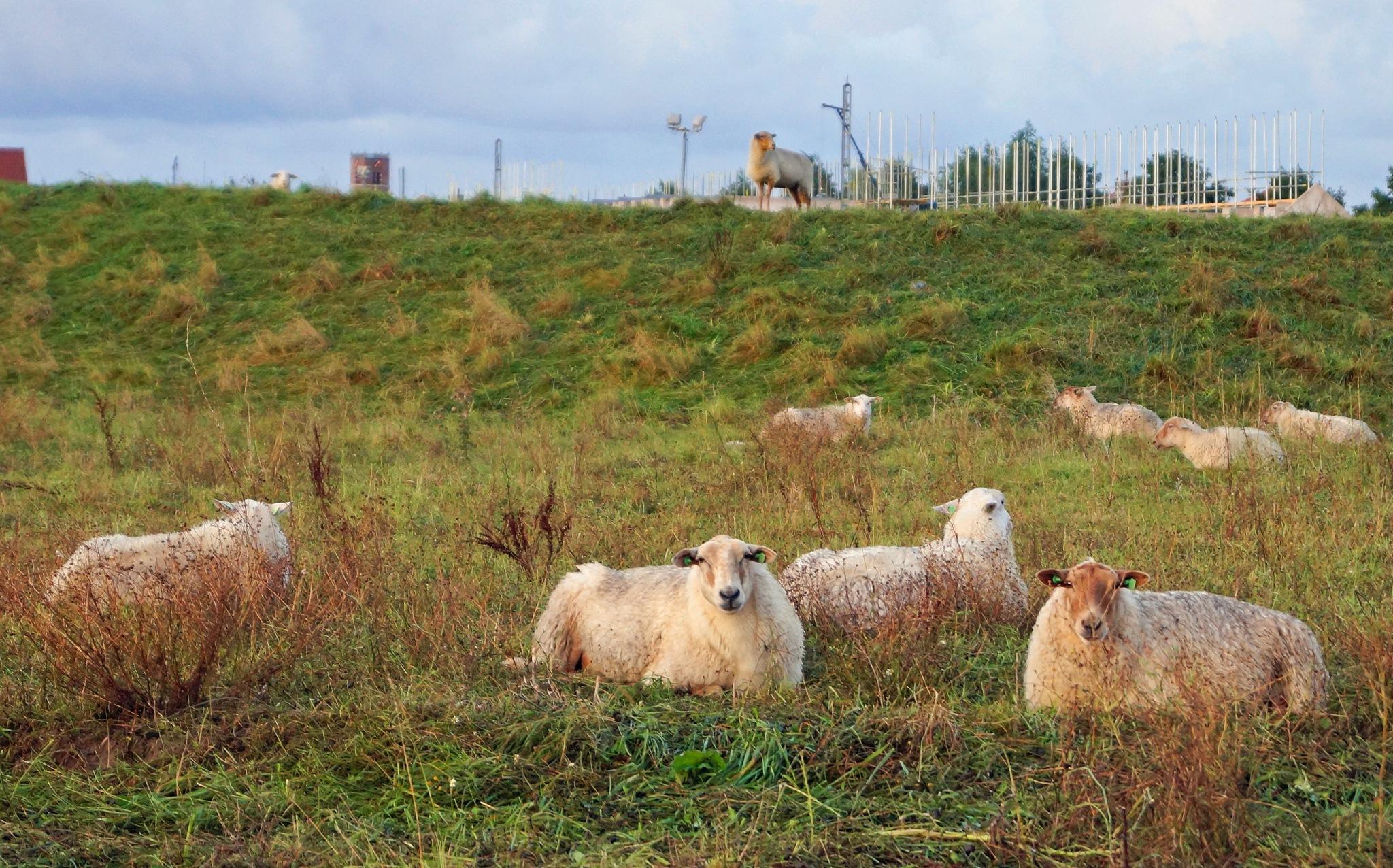 Morning Sheep by Marian Baay
