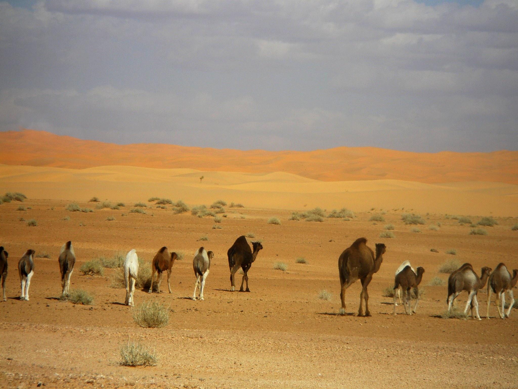 Camels by Khalid Hanafi