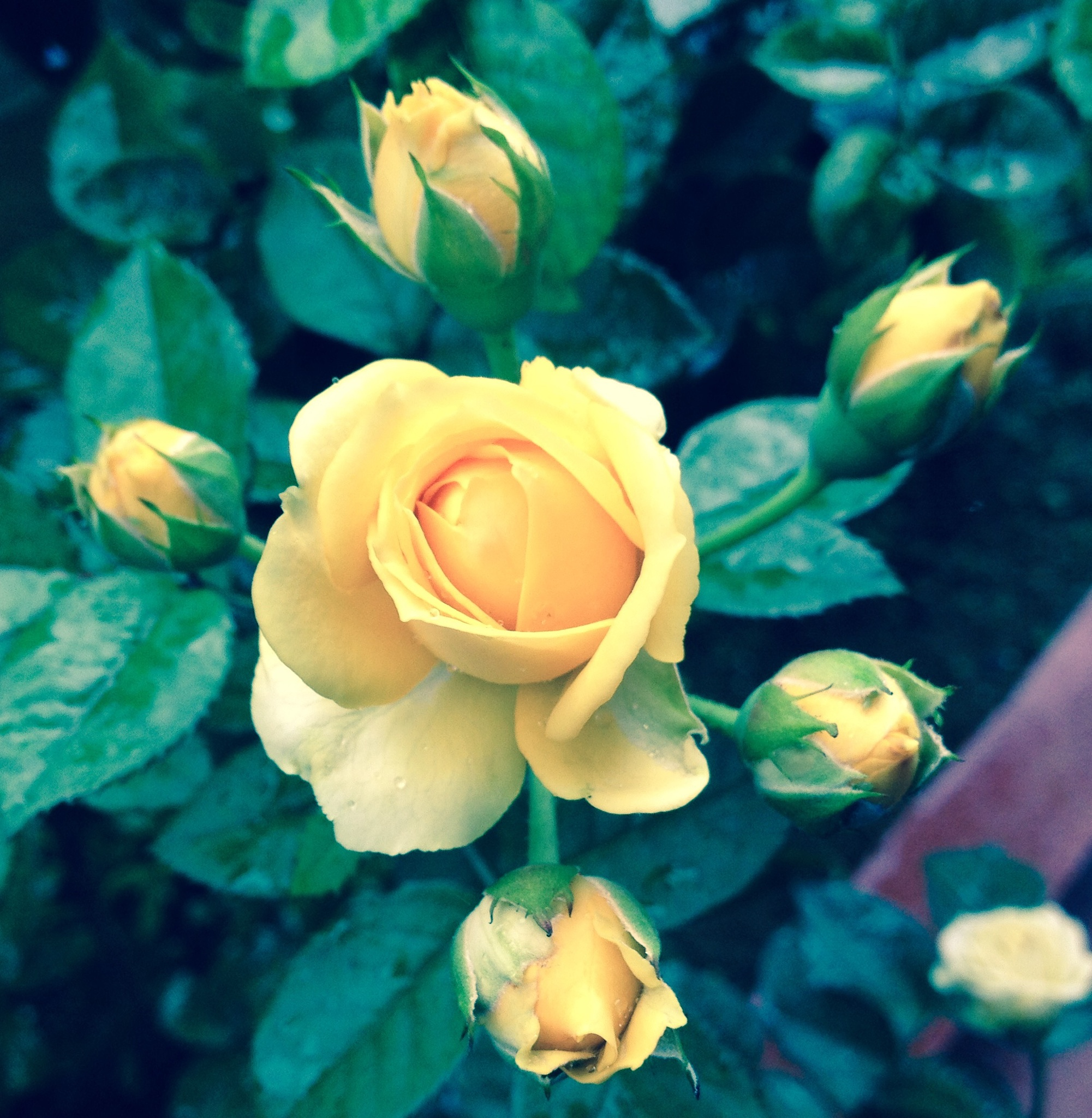 Yellow Rose by Rozale Coulton