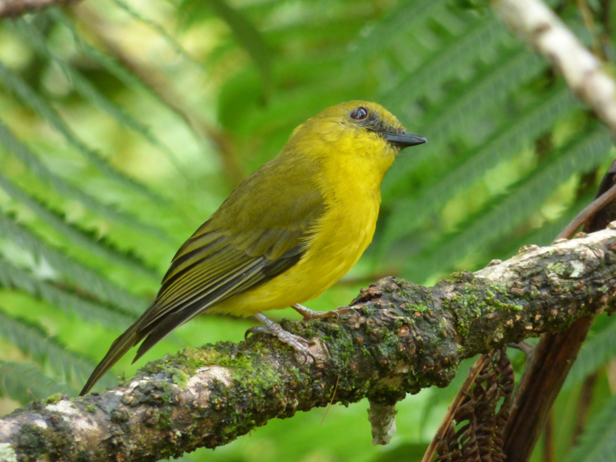 Endemic Birds of Borneo by lunsing74
