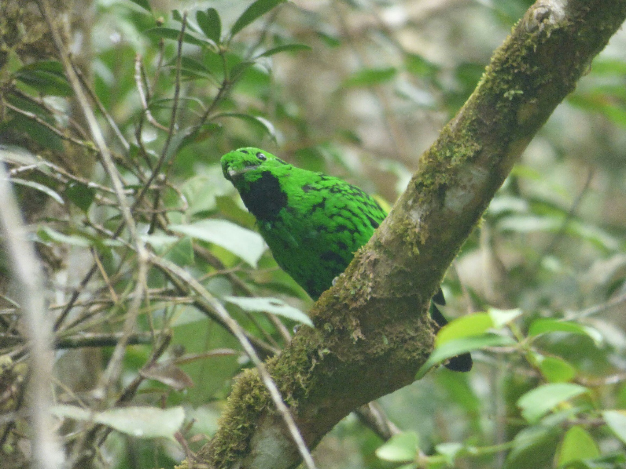 Endemic Birds of Kinabalu Park by lunsing74