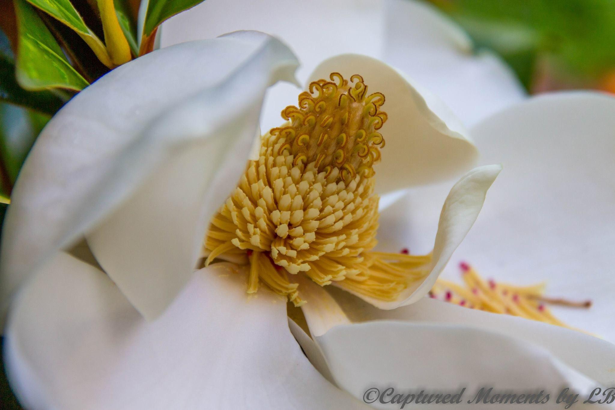 Magnolia flower  by CapturedMomentsByLB