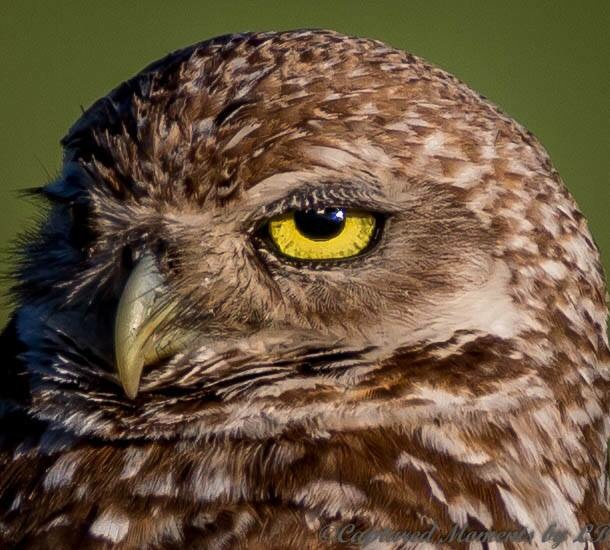 Burrowing Owl Cape Coral, Florida by CapturedMomentsByLB