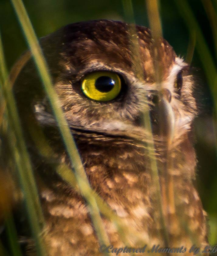 Burrowing Owl by CapturedMomentsByLB