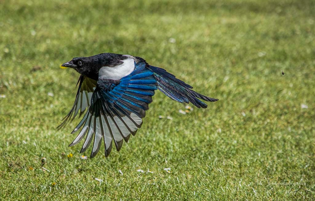 magpie by Anett