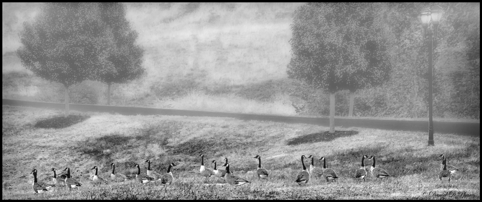 Flock of Canadian Geese by danphares