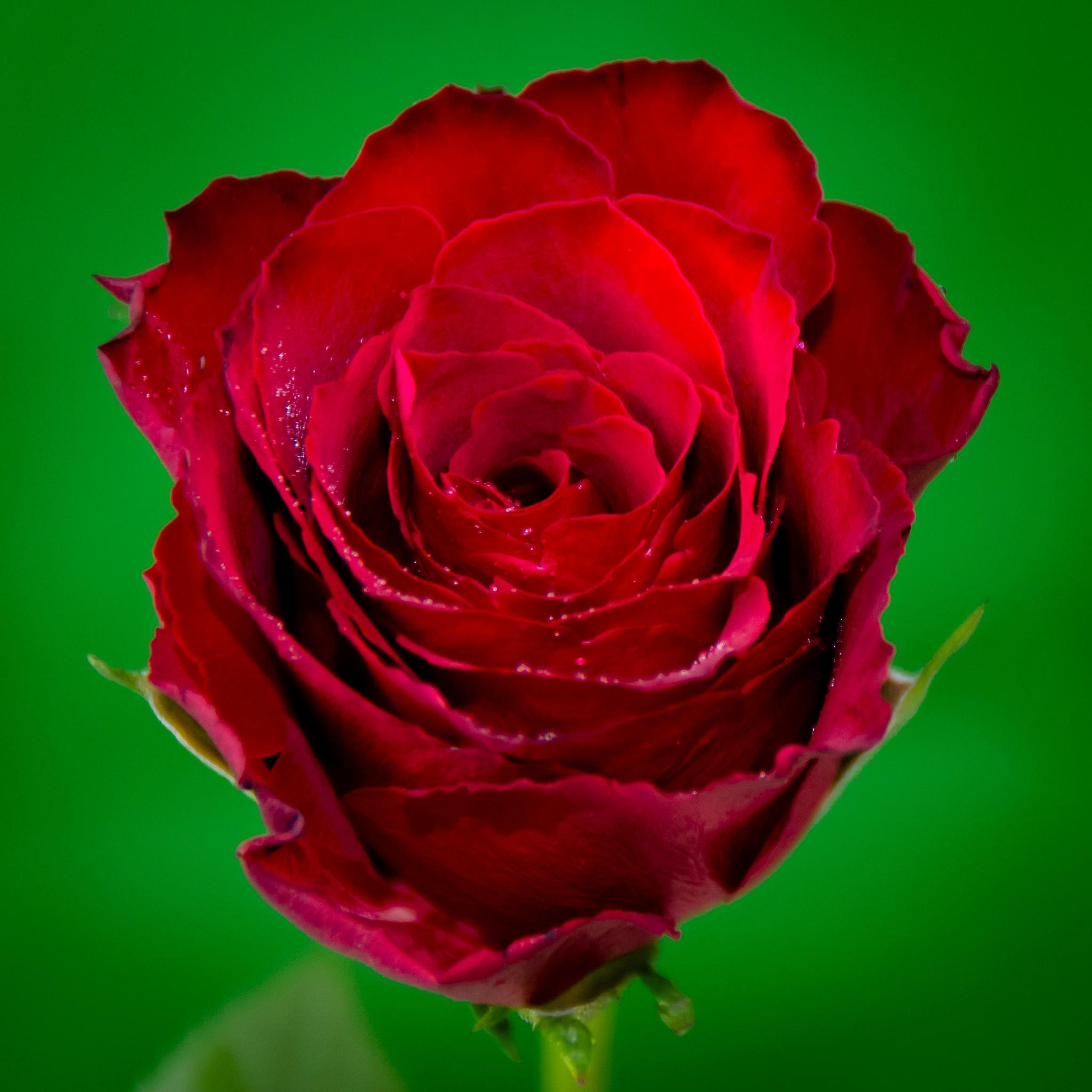 Rose by Kristof Maenhout