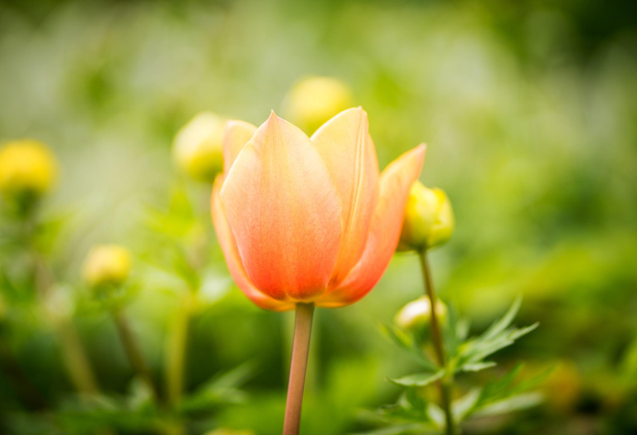 Tulpe by Daniel Gappel