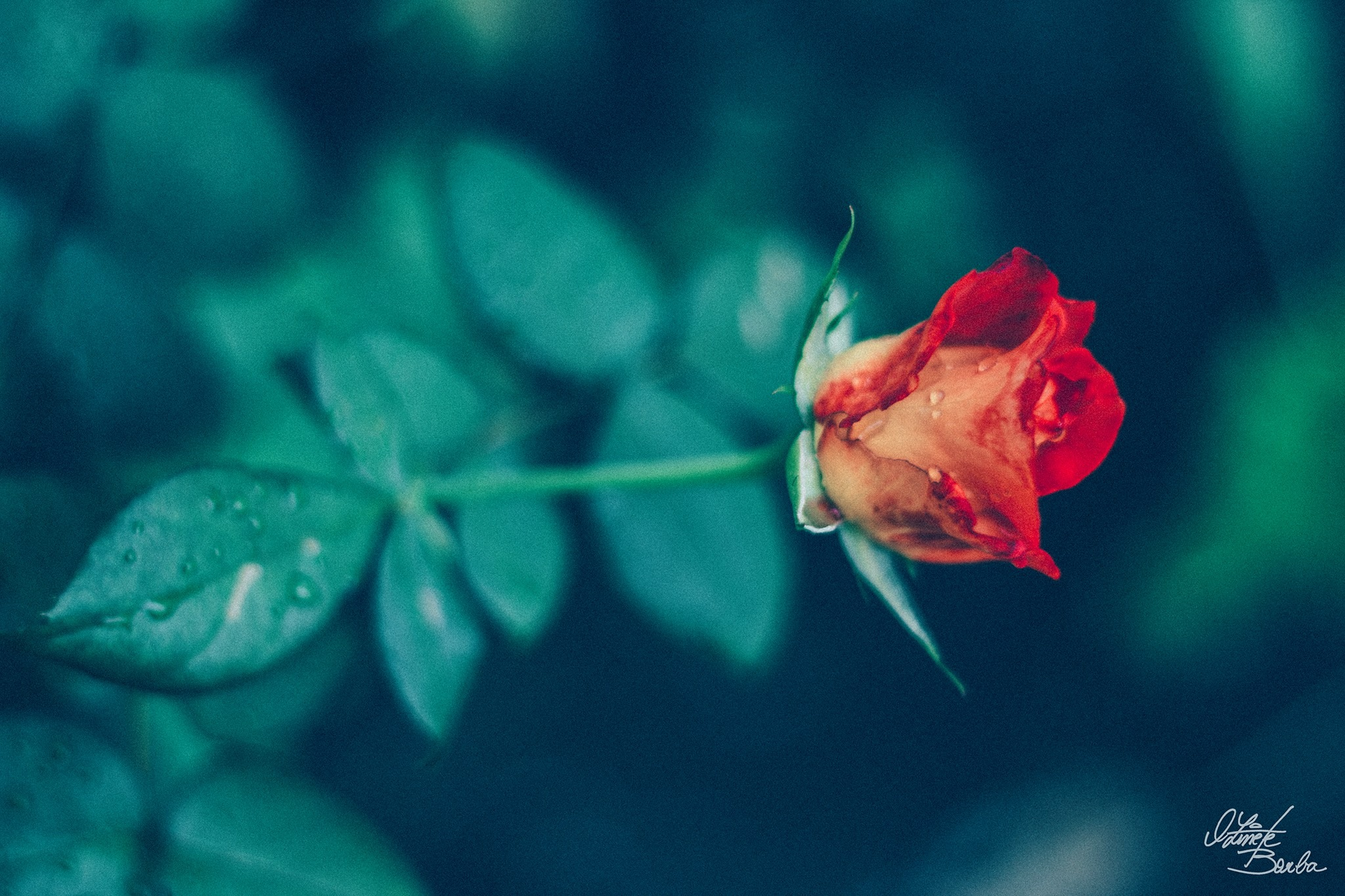 Flor by Oz Borba