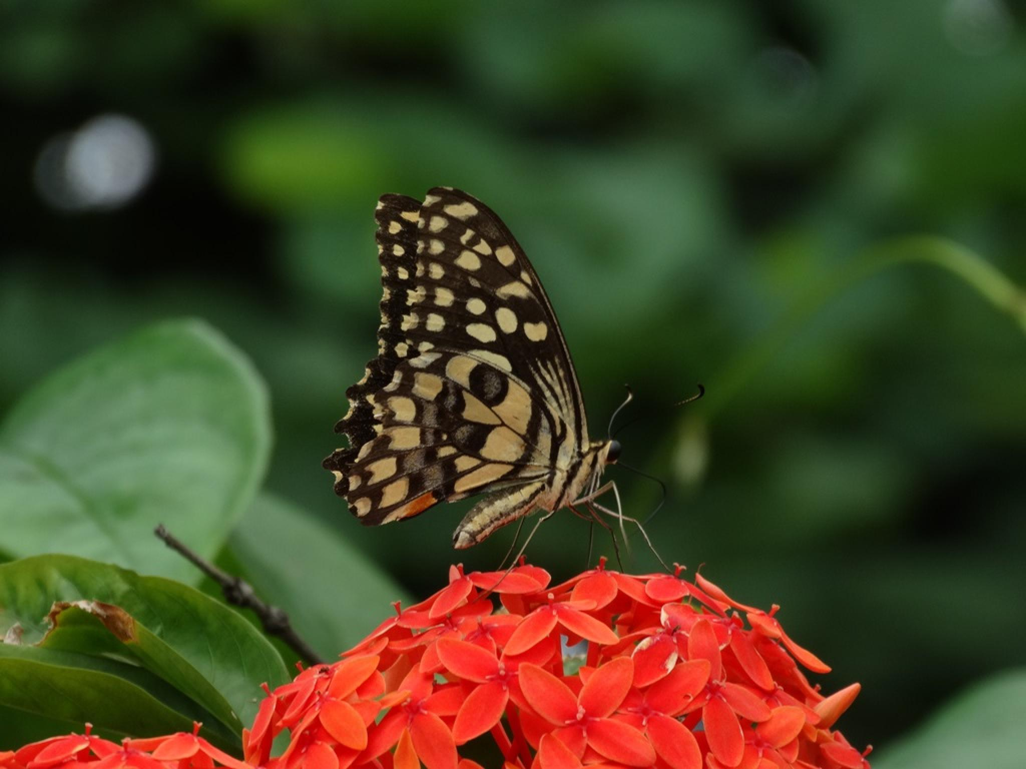 Butterfly by Prasenjit Das
