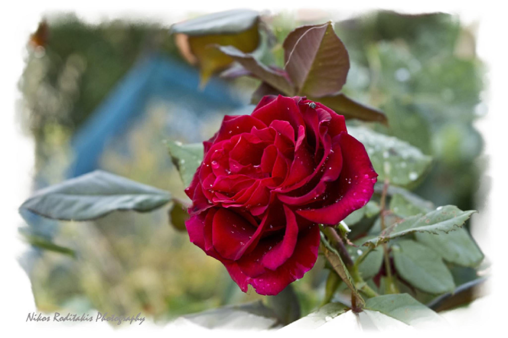 The beauty of red rose by Nikos Roditakis
