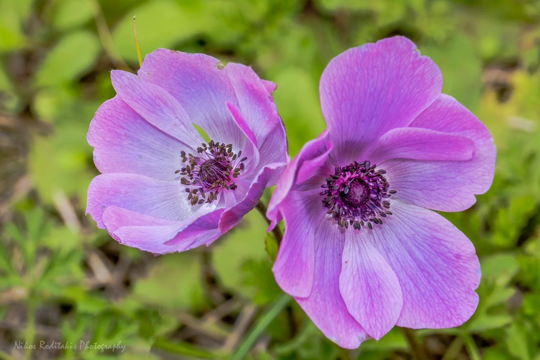 Poppy anemone by Nikos Roditakis