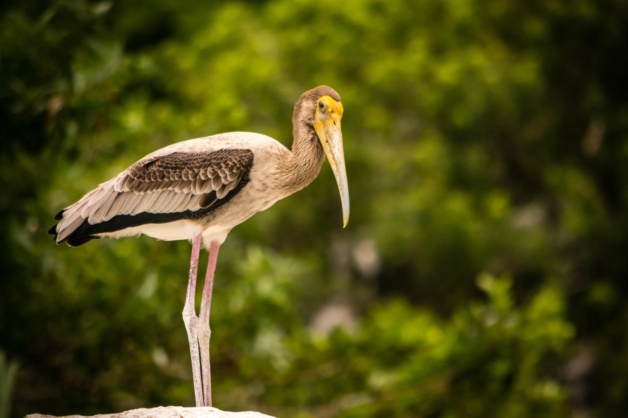 The Painted Stork (Mycteria leucocephala) by SudeepMandal