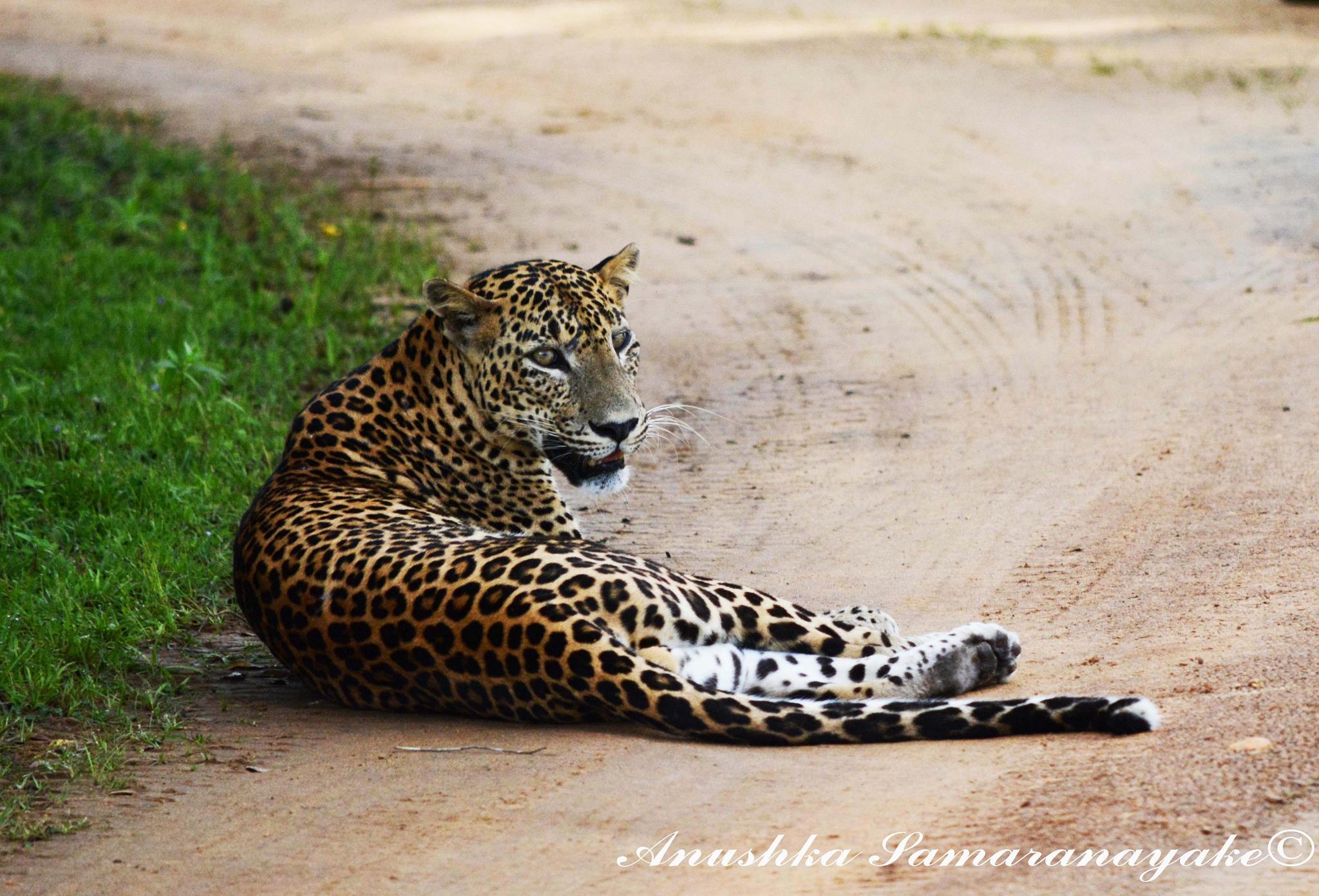 Lazy Leopard by Anushka Samaranayaka