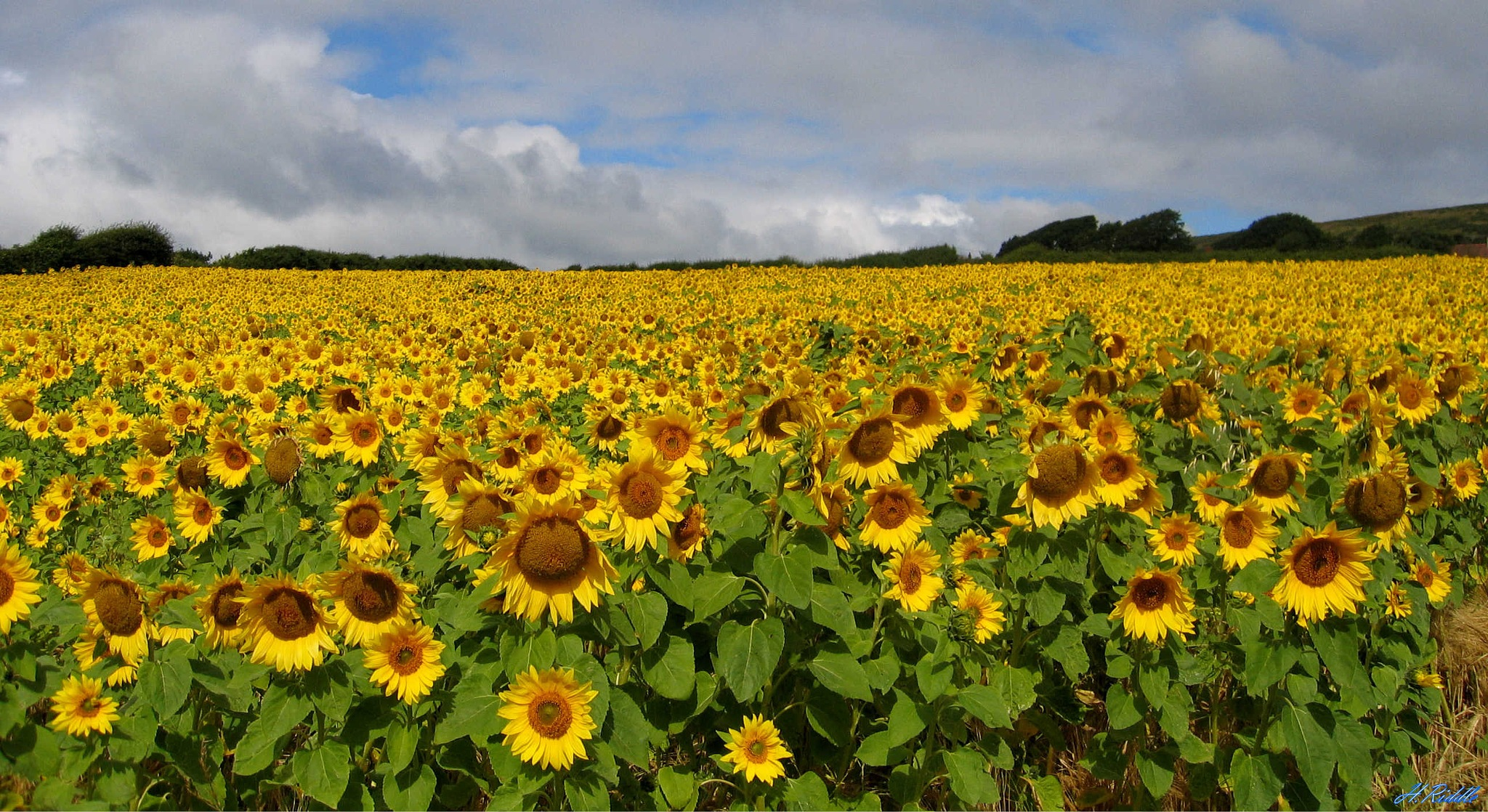 Sunflower Heaven by Herb Riddle