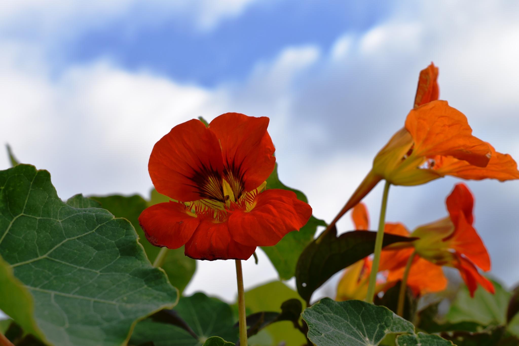 Nasturtium flower by Stephen Ashdown
