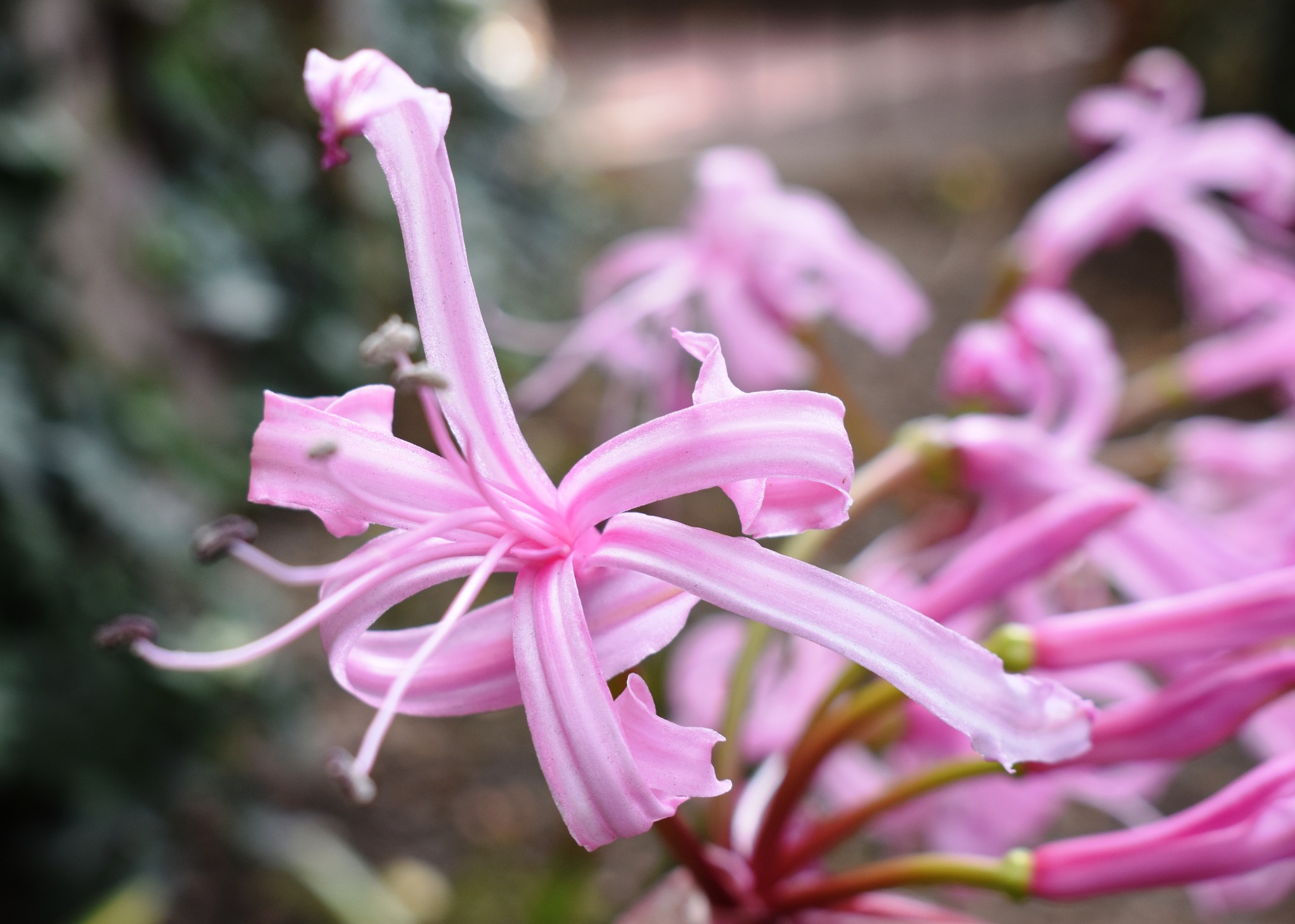 A pink agapanthus by Stephen Ashdown