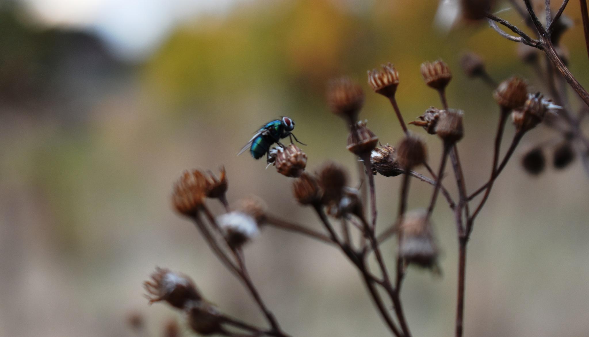 fly on dead ragwort by Stephen Ashdown