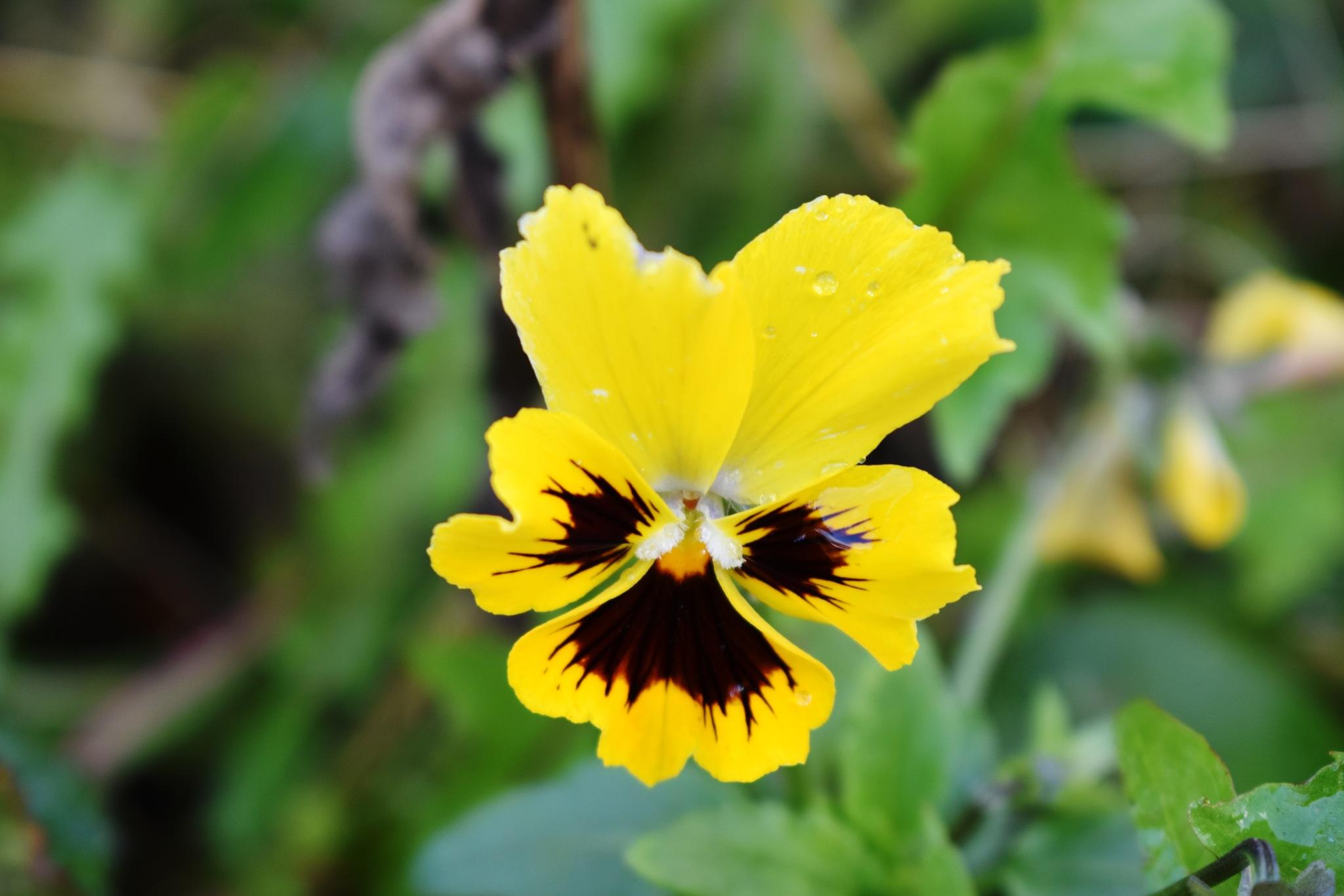 A yellow violet?! by Stephen Ashdown
