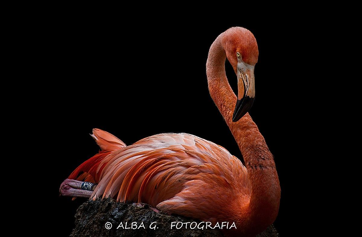 Flamingo by AlbaFotoBCN