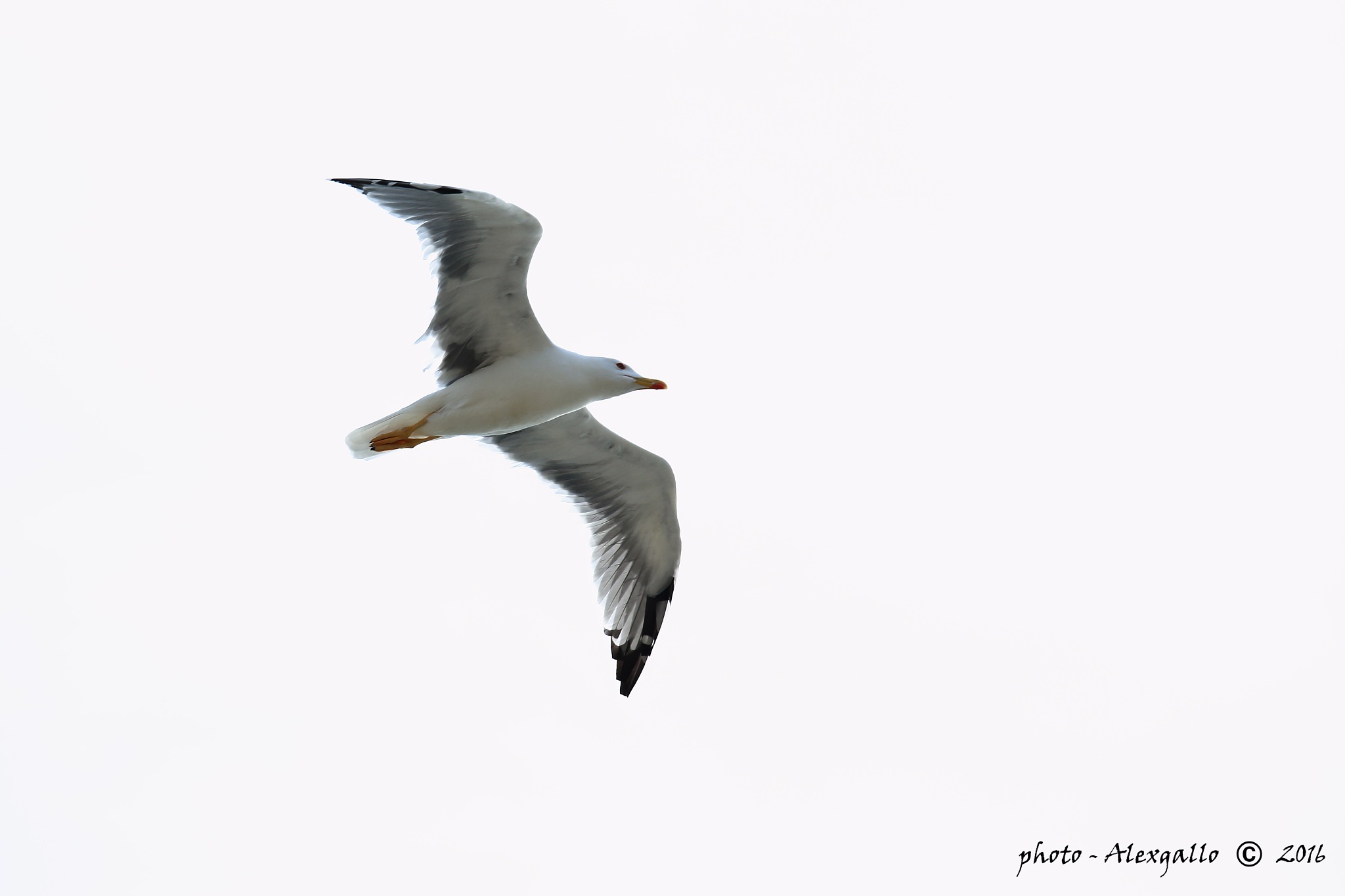 seagull in flight by AlexGallo