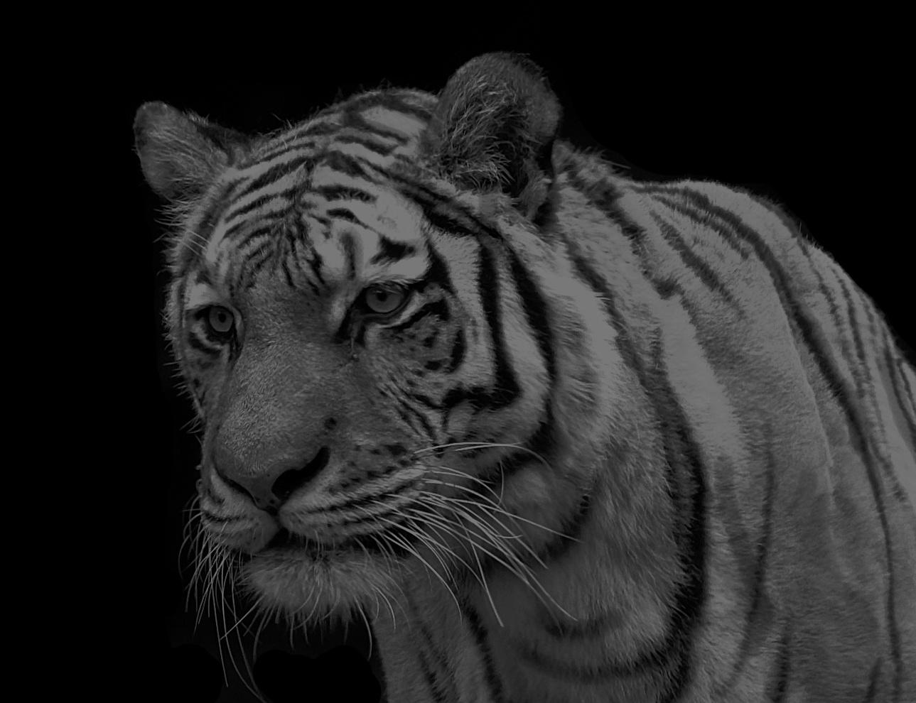 Milwaukee Tiger by Wovoka