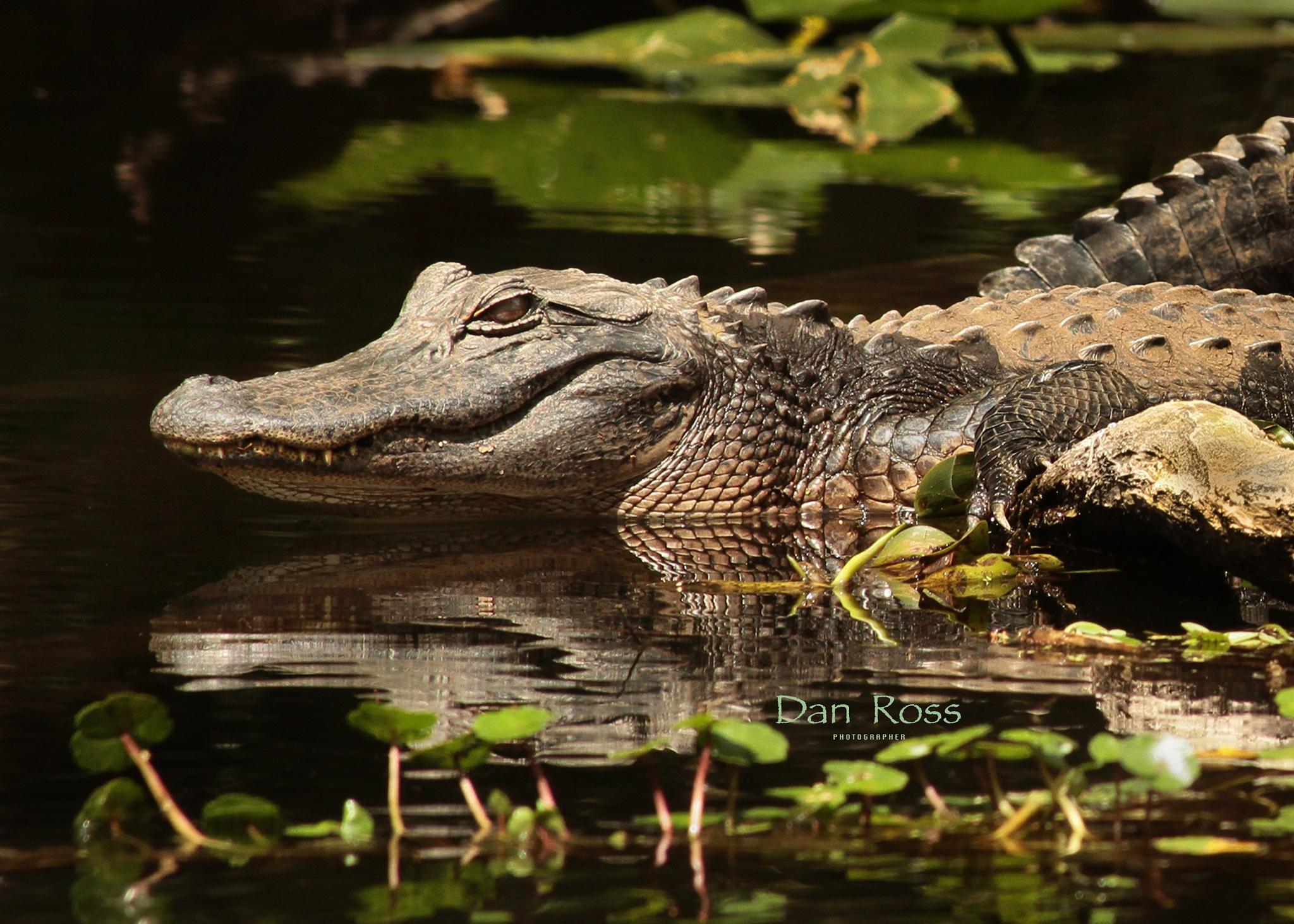 Alligator Watching by Dan Ross