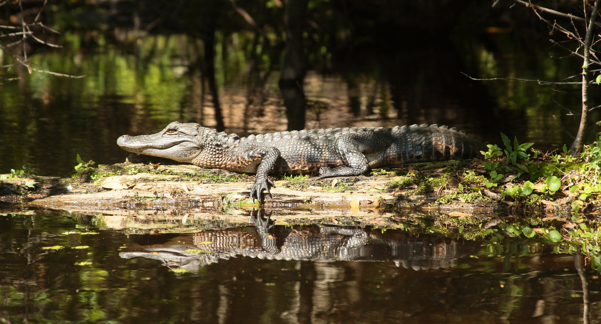Young Alligator by Dan Ross