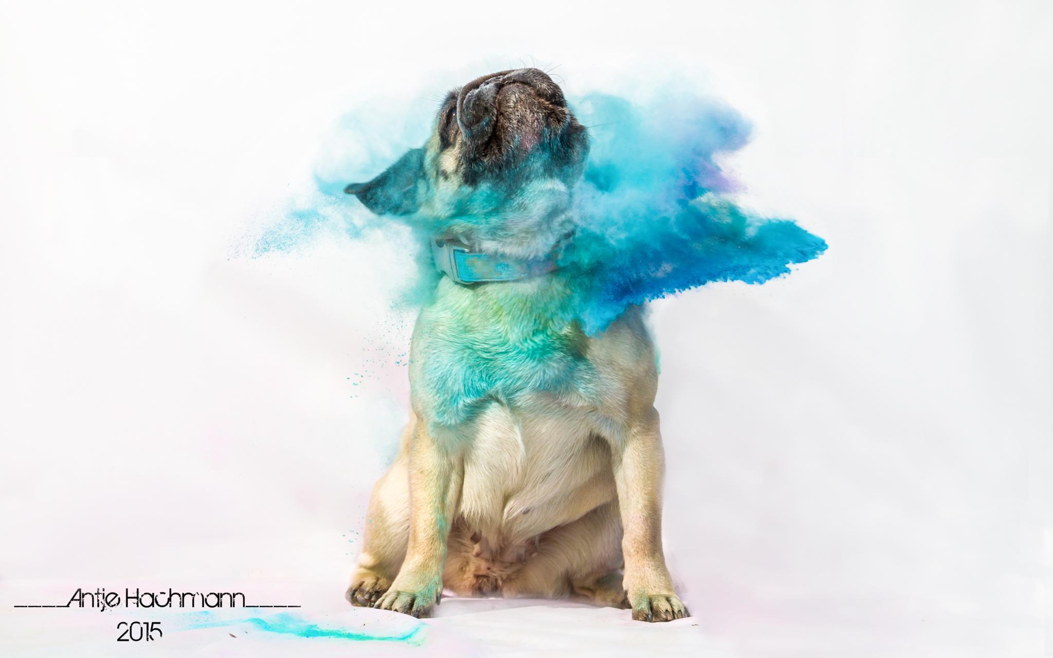 Holi Dogs - Mops by Antje Hachmann