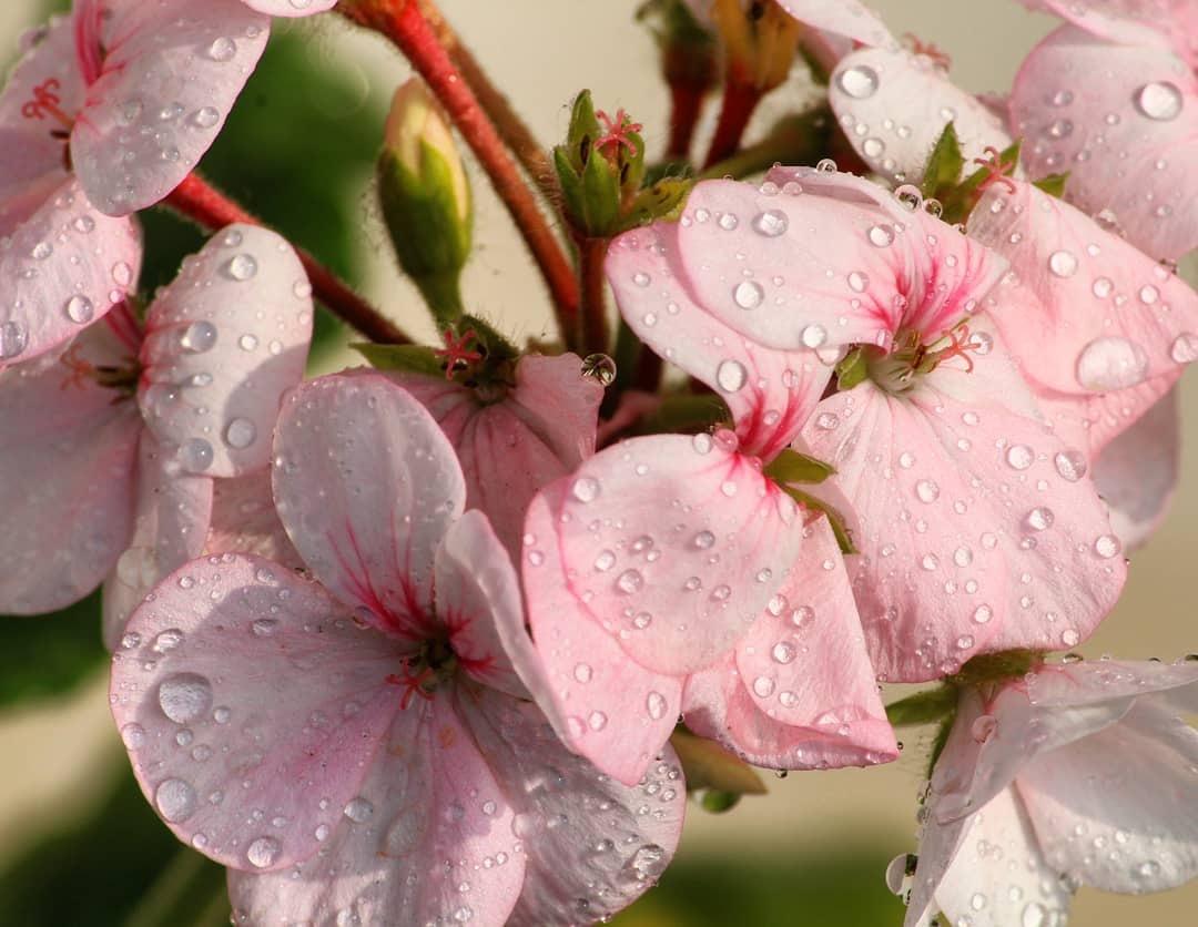 Pink Geranium by Shruti