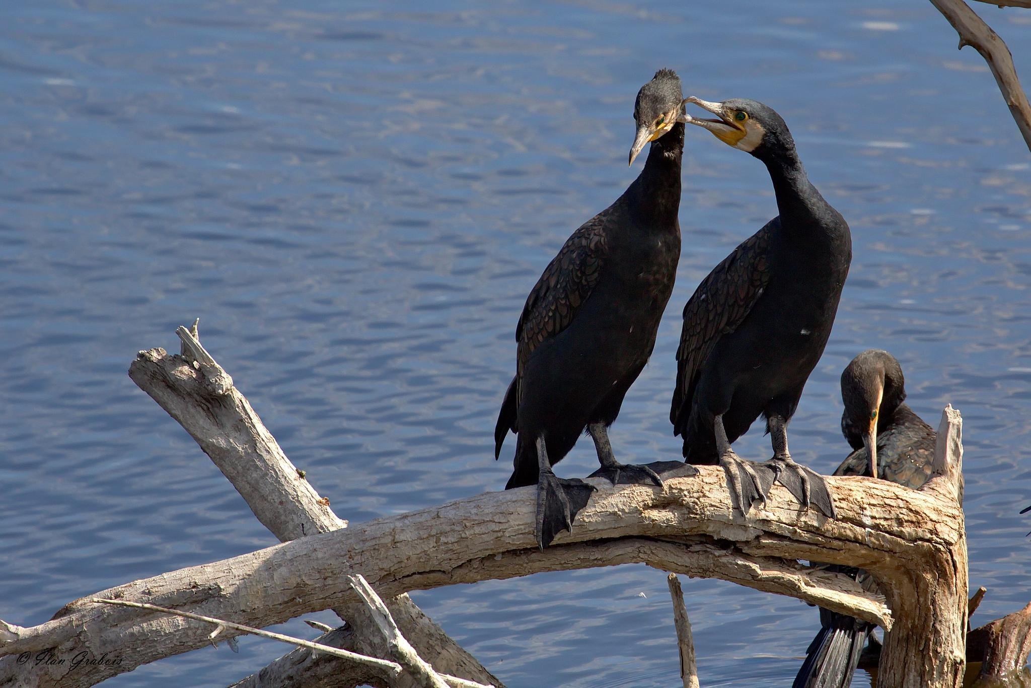 Photo in Animal #great cormorant #birds #water #nature