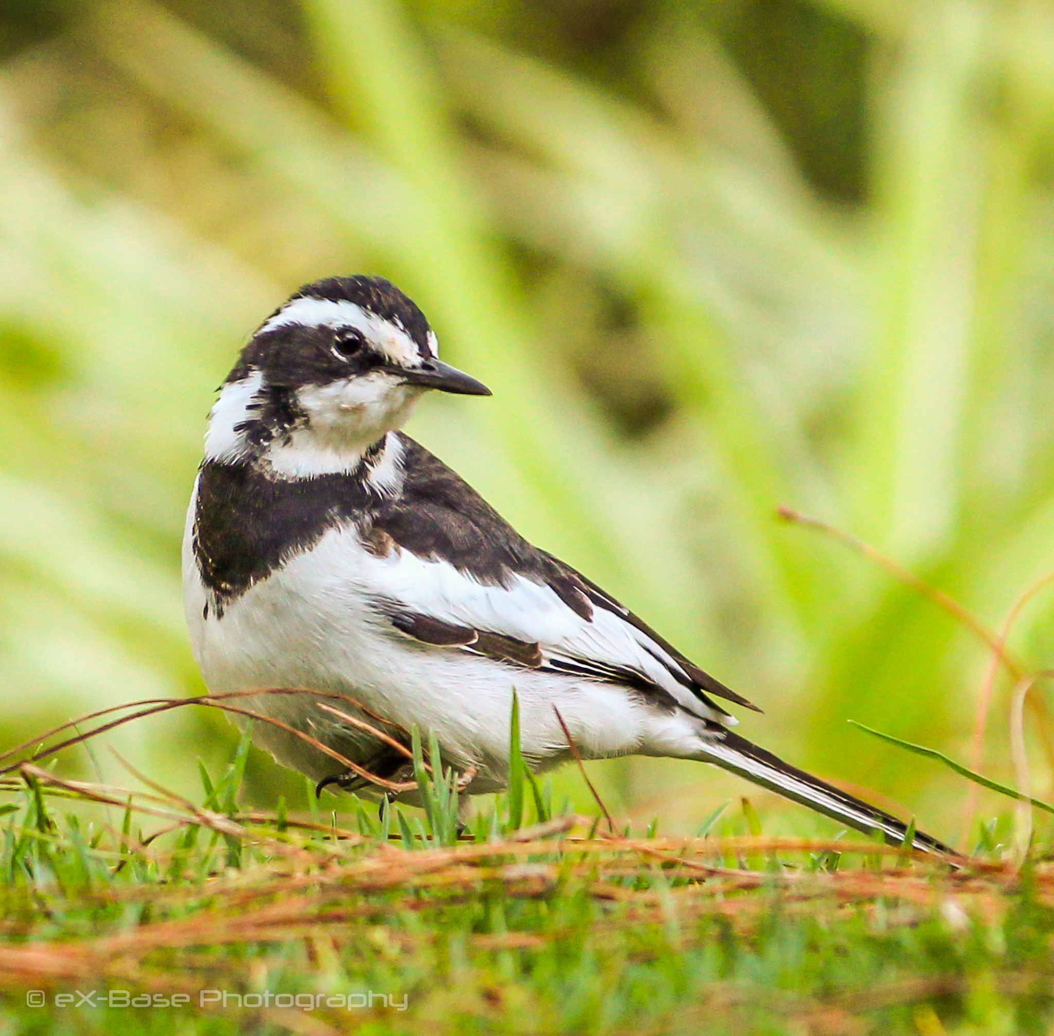 Wagtail by Xander Buys
