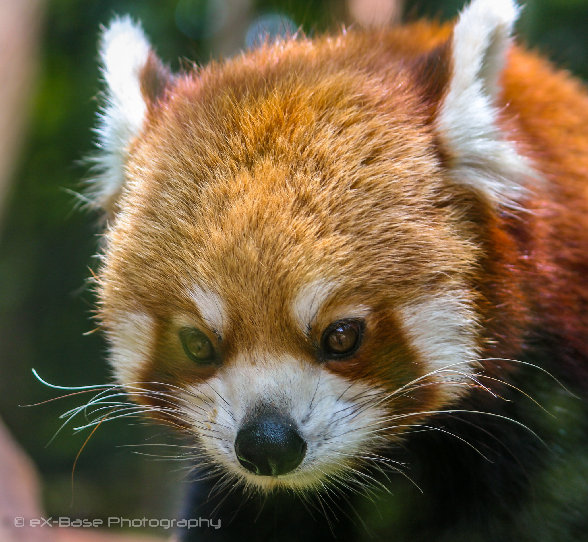 Red panda by Xander Buys