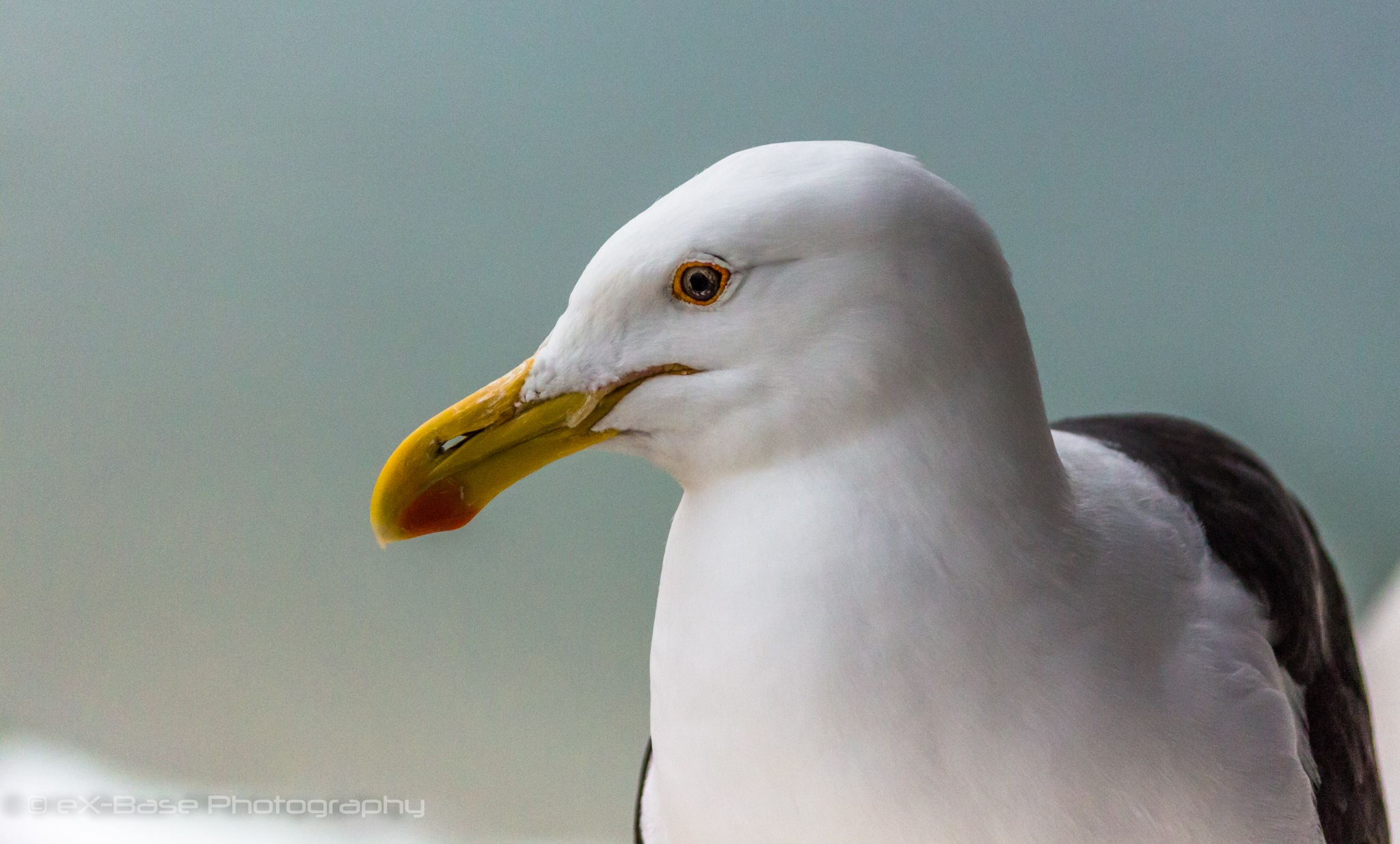 Seagull by Xander Buys