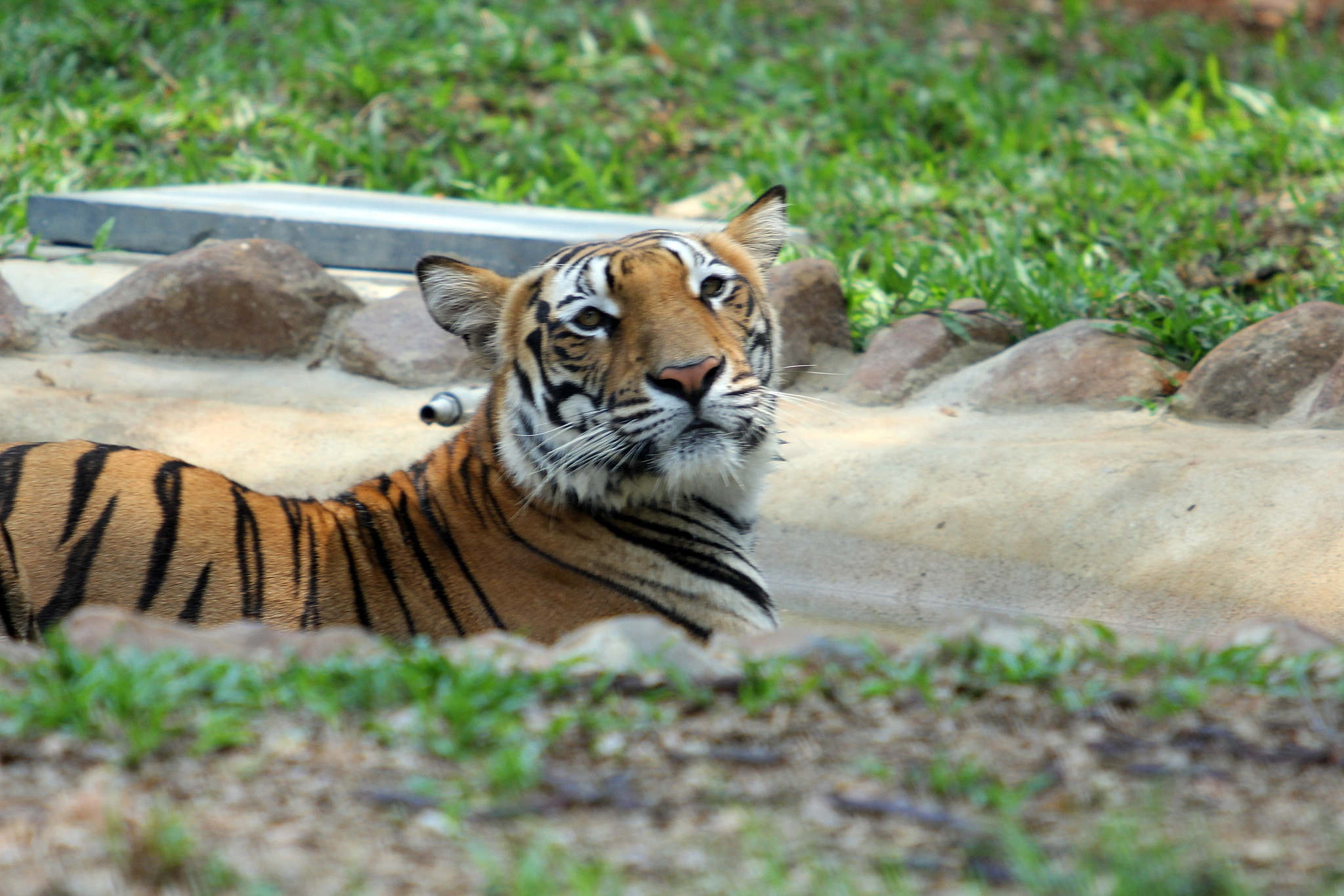 Tiger by benjaminbrunno
