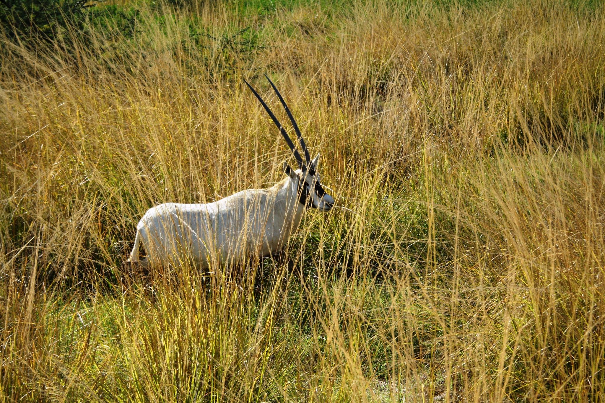 oryx by Zaid Ibrahim
