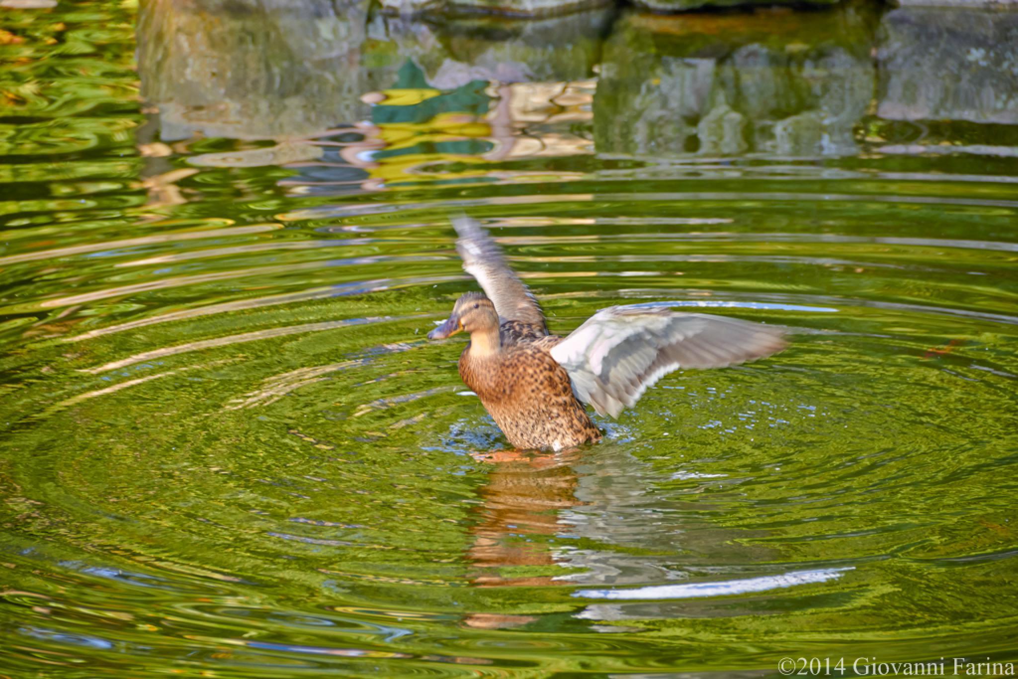 Water ripple by Giovanni Farina