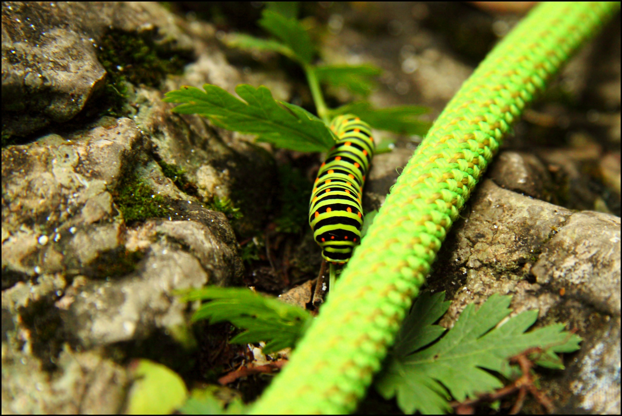 swallowtail caterpillar by tomekgorski