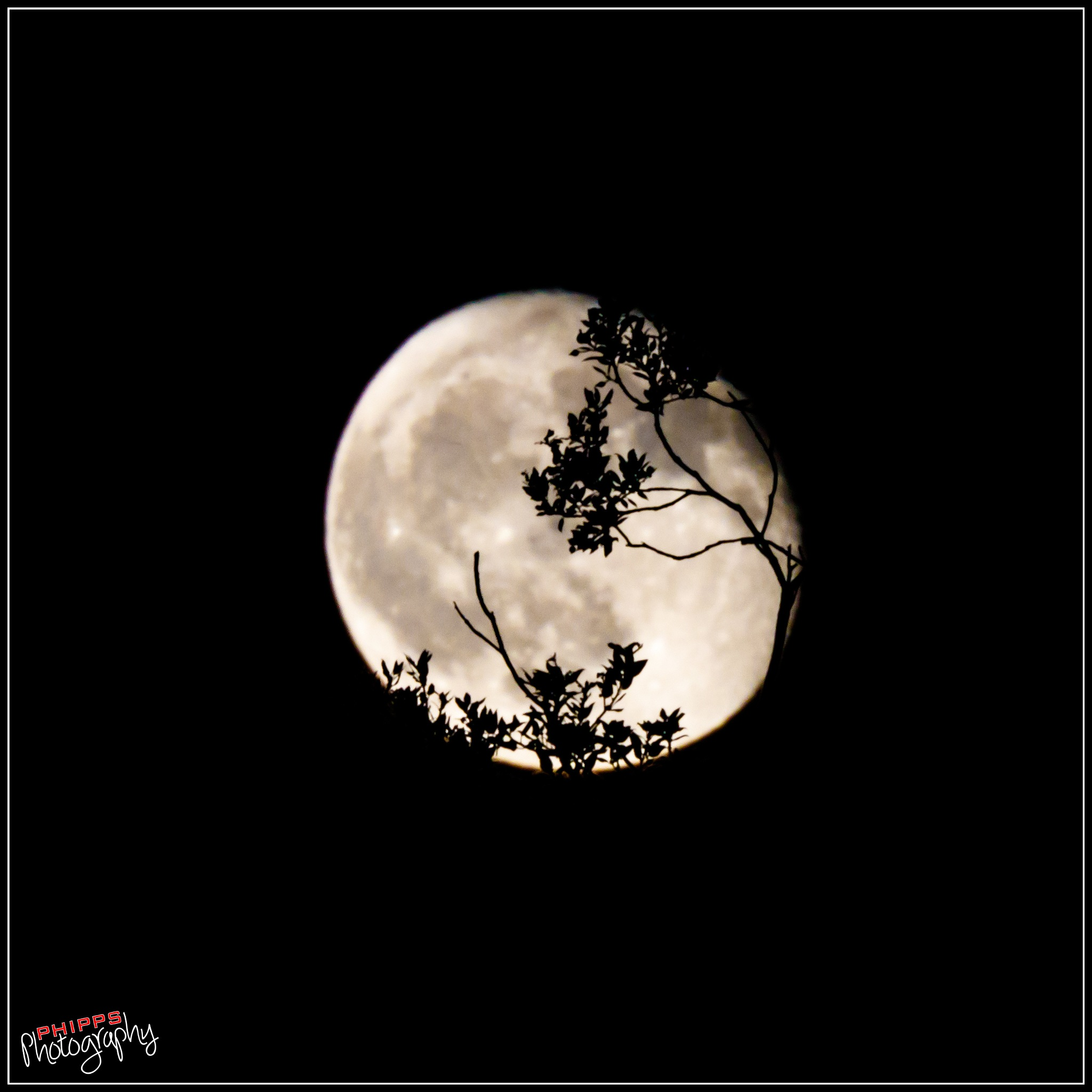 Tonight's Moon Rising Through the Trees... by PhippsPhotography