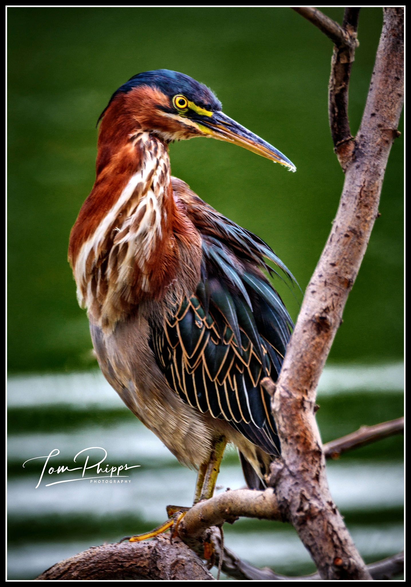 # 8408 Green Heron... by PhippsPhotography