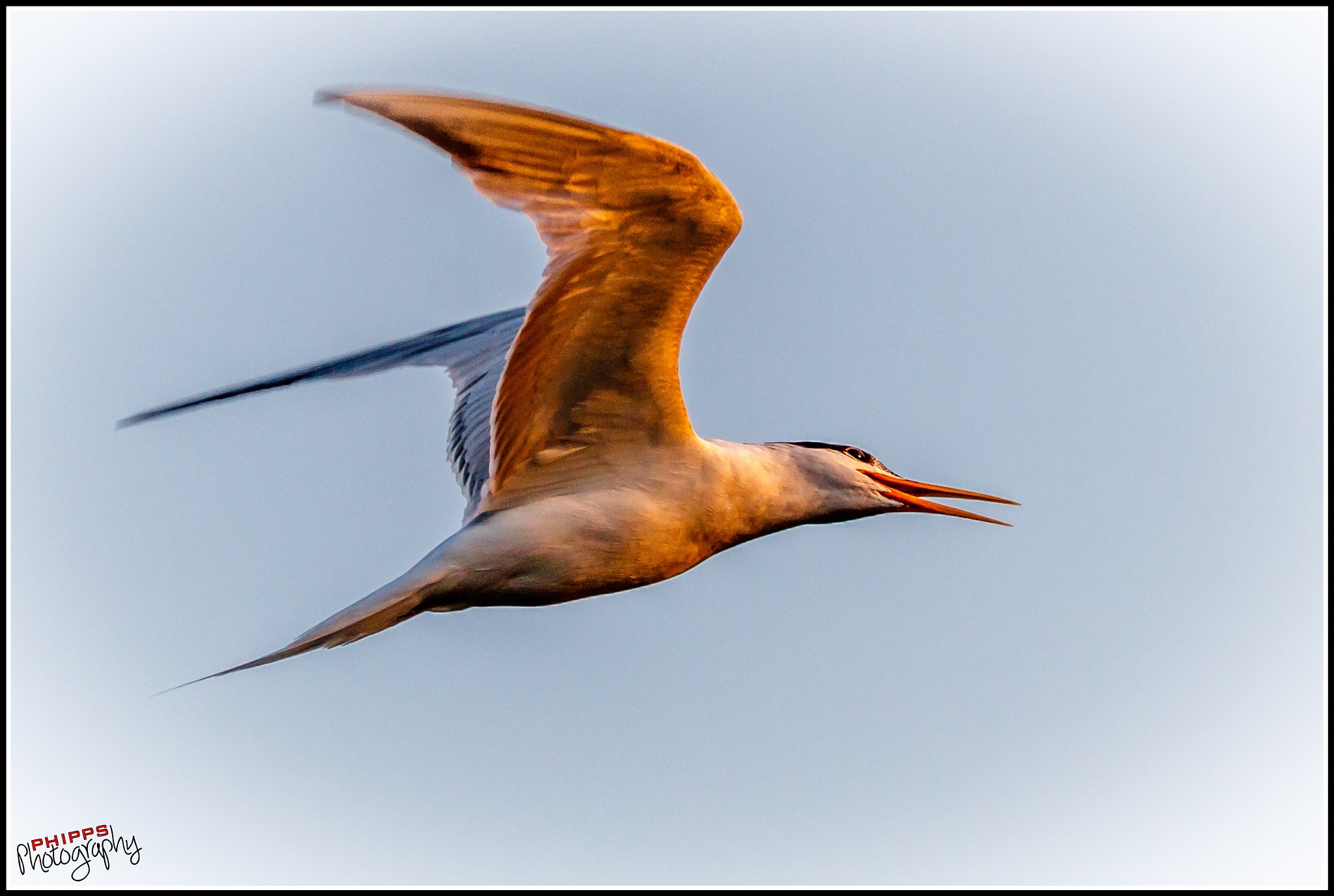 Common Tern nears Sunset... by PhippsPhotography
