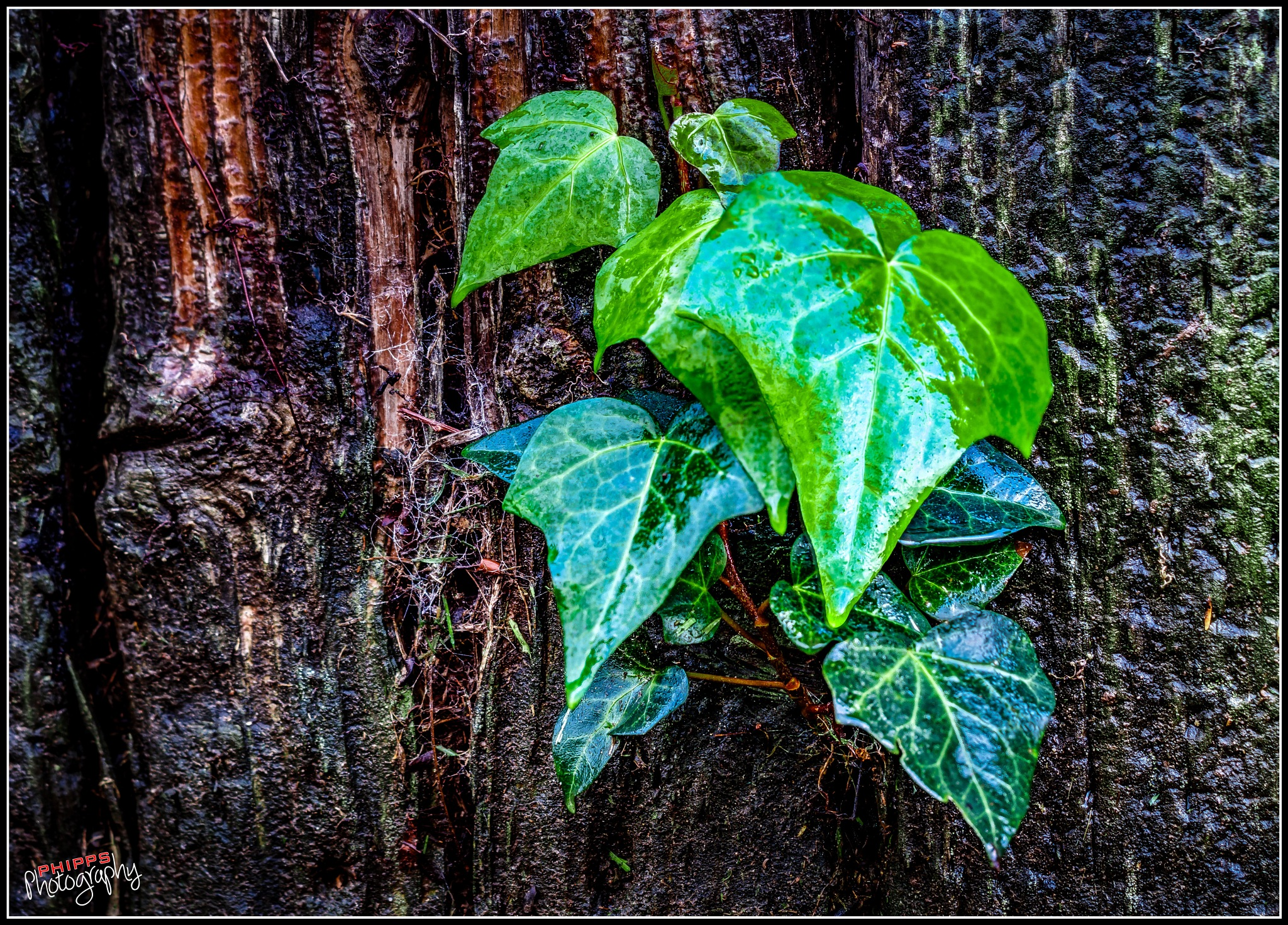 Ivy is Popping Out Everywhere From all the Rain... by PhippsPhotography