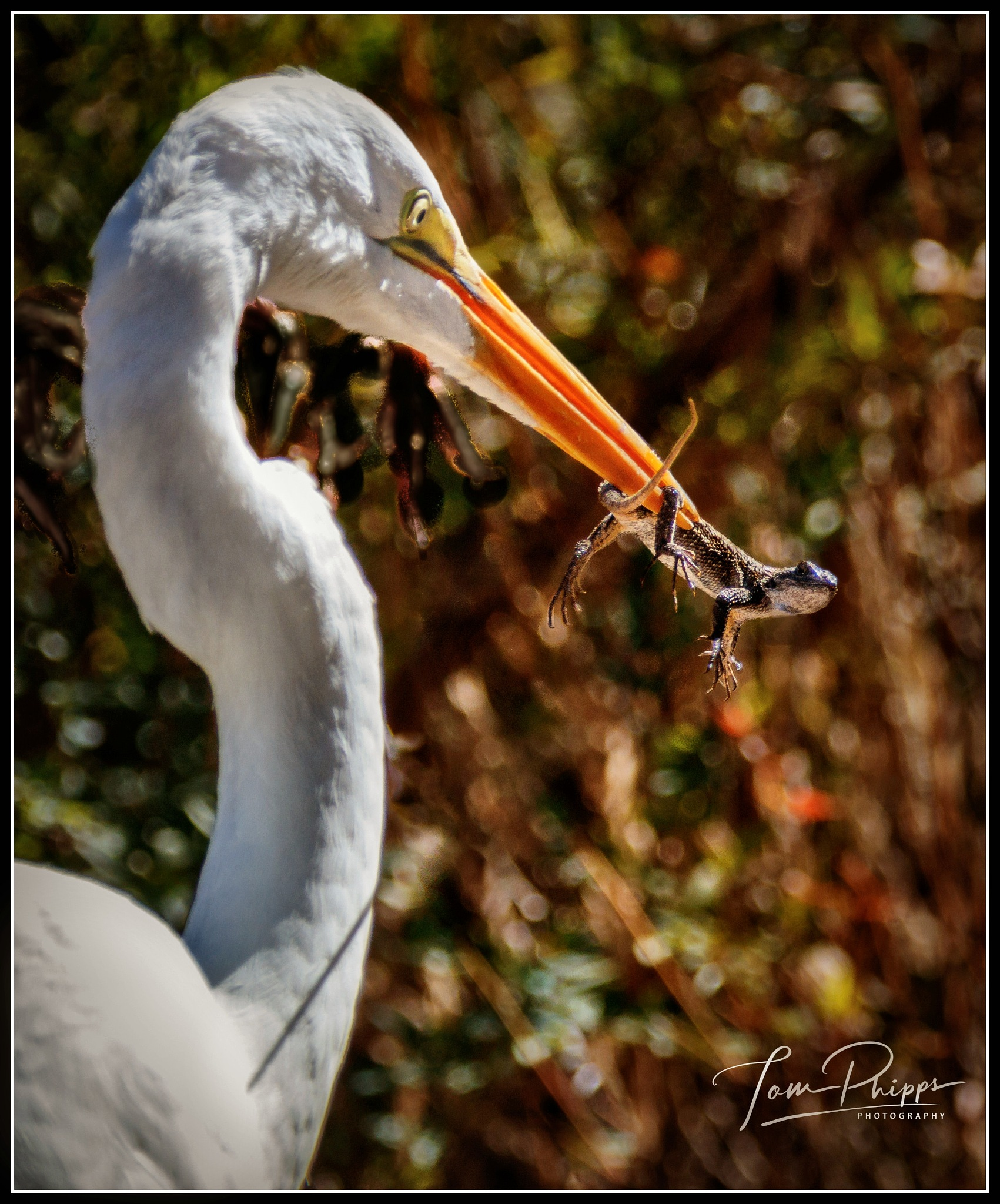 This White Egret caught and ate, two Fence lizards in quick succession... by PhippsPhotography
