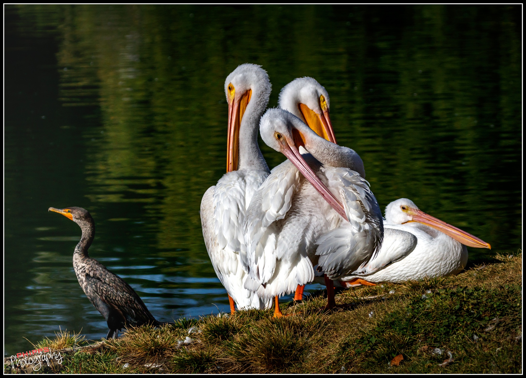 Cormorant paying no attention to the preening Pelicans... by PhippsPhotography