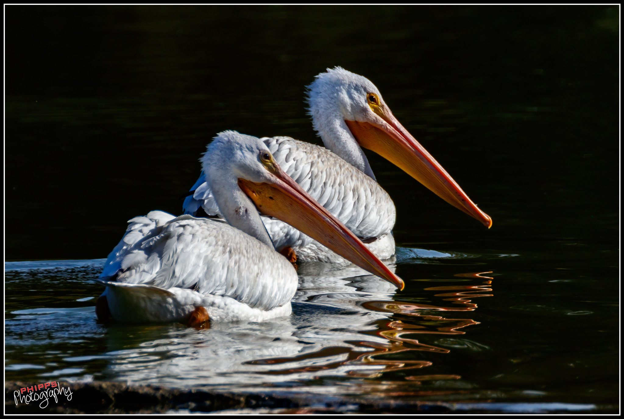 A Mated Pelican Pair... by PhippsPhotography