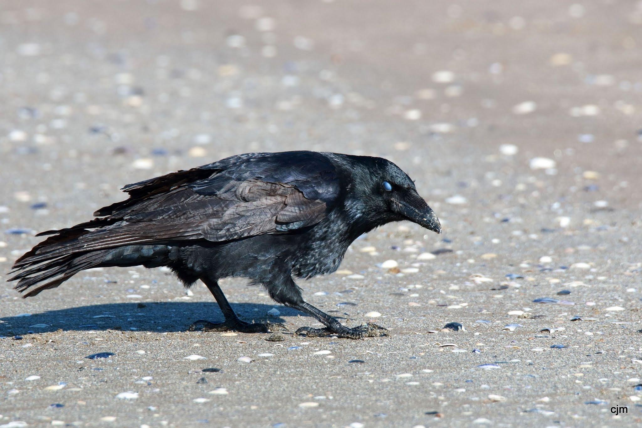 Corneille noire-Corvus corone Saint Brévin (44) by Christophe