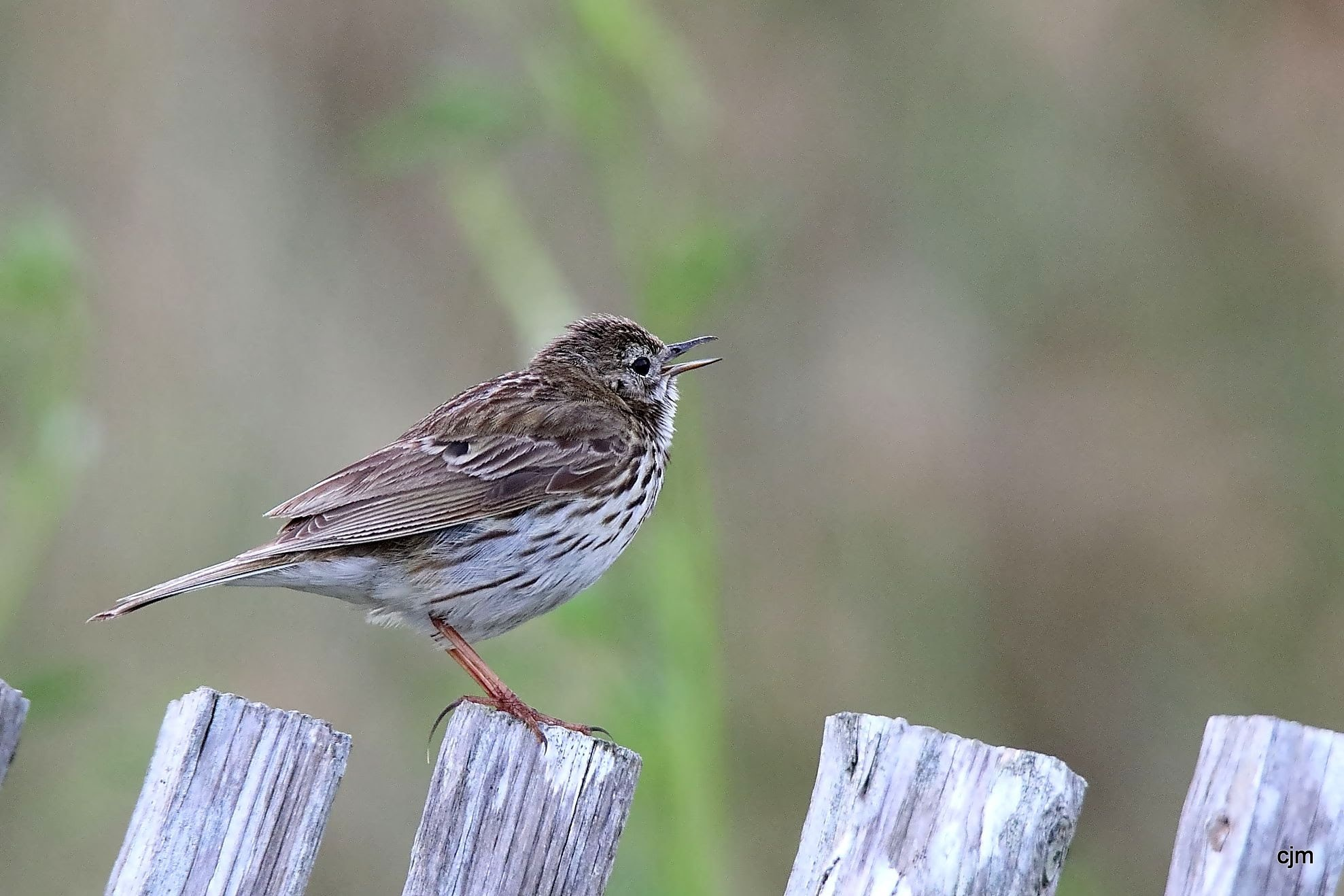 Pipit farlouse - Anthus pratensis      Cabourg(14) by Christophe