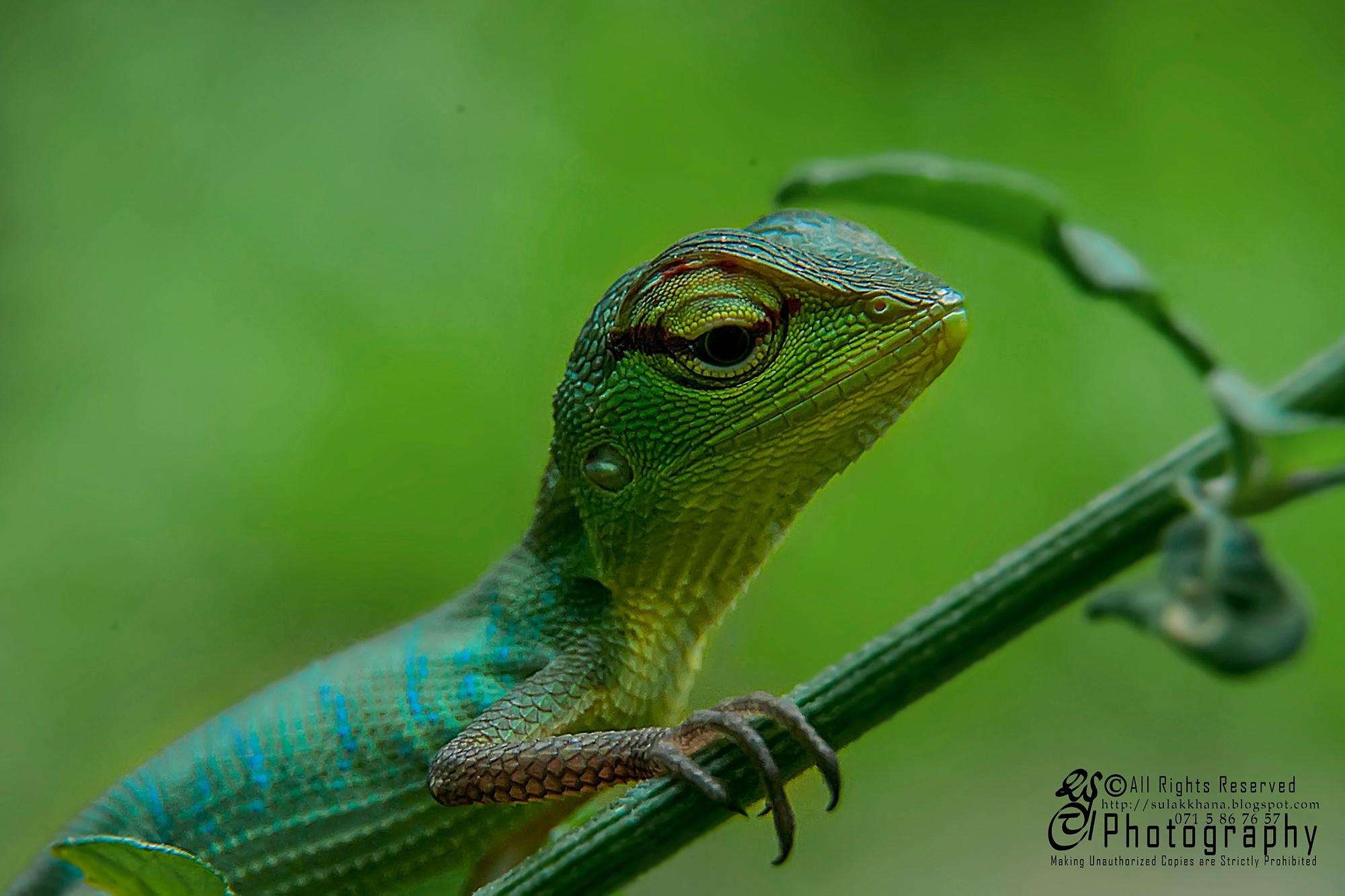 Common Green Forest Lizard  (Calotes calotes) by Sulakkhana Chamara